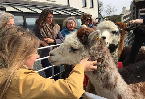 Mourne Alpaca Belfast - Knitting Tours of Ireland and Northern Ireland